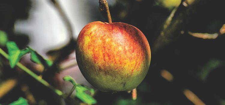 Lexikon der Heilkräuter: Apfel