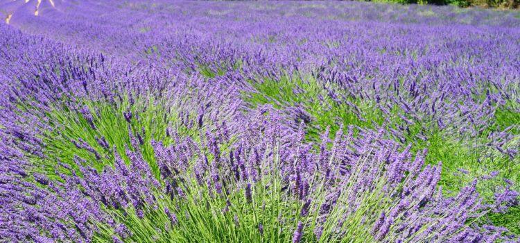 Lexikon der Heilkräuter: Lavendel